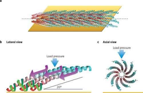 Изучаемый ученными, главный кандидат - вирус-бактериофаг M13