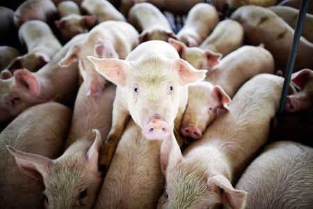 Электроэнергия из свинофермы