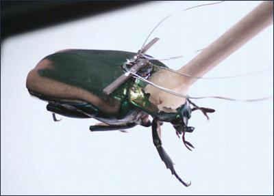 Пьезогенератор на подопытном жуке