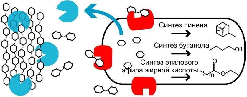 Целлюлоза и гемицеллюлоза гидролизуются специфическими ферментами (показаны голубым). Полученные олигосахариды гидролизуются β-глюкозидазой (показана красным) до получения моносахаридов, которые бактерия перерабатывает по одному из трех метаболических пут